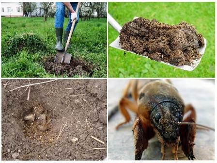 Как избавиться от медведки в огороде навсегда