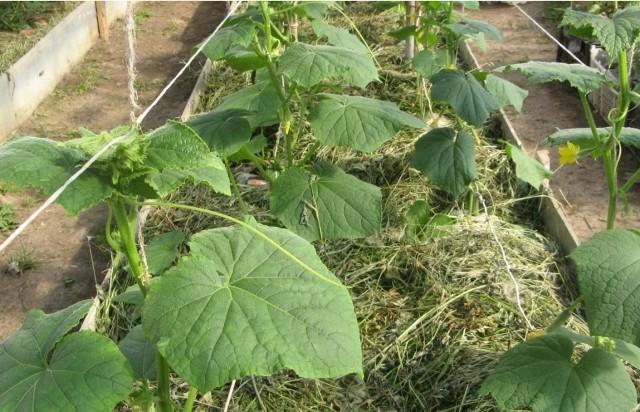 мульчирование огурцов свежей травой