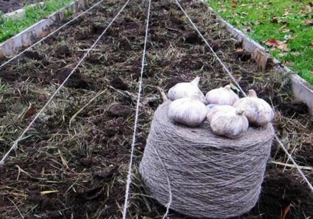 Куда правильно посадить чеснок на зиму