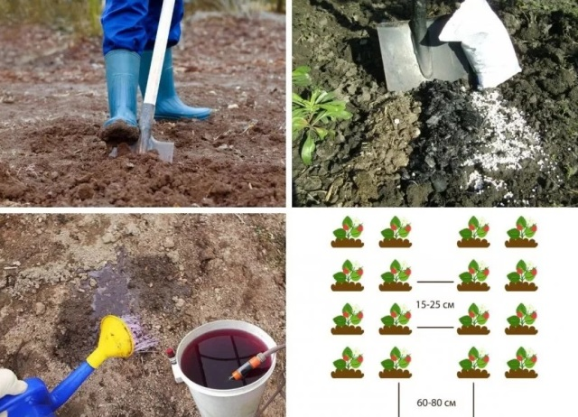 Как рассадить клубнику усами осенью