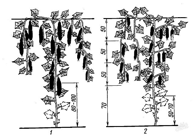 формирование кустов огурца