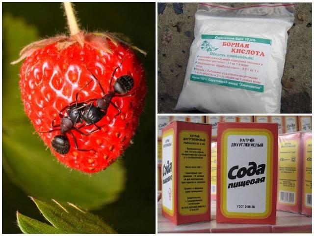 Как избавиться от муравьёв в огороде содой