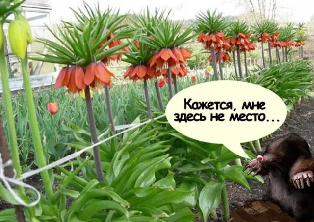 Какими растениями можно отпугнуть кротов