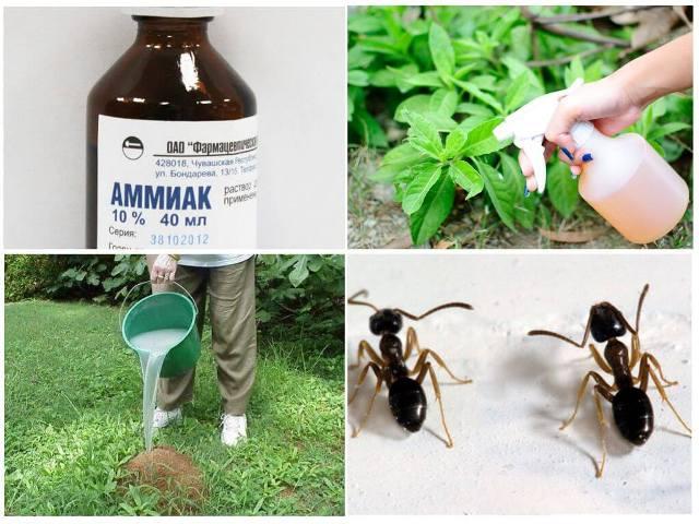 Как избавиться от муравьёв в огороде навсегда с помощью нашатырного спирта