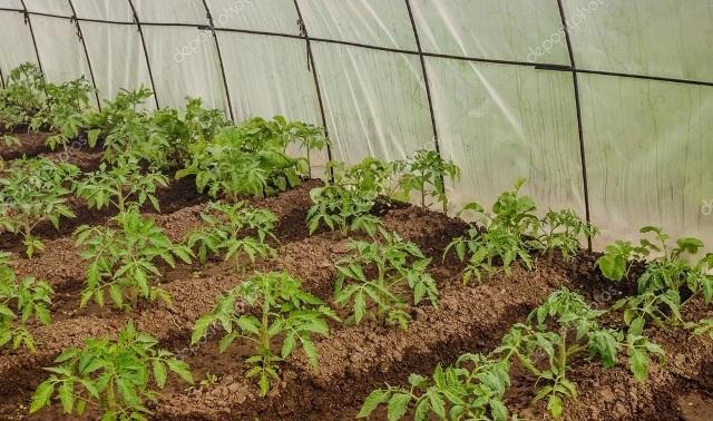 Чем подкормить помидоры после высадки в грунт в теплице