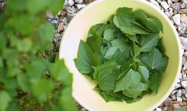 Маринованные листья смородины: рецепт