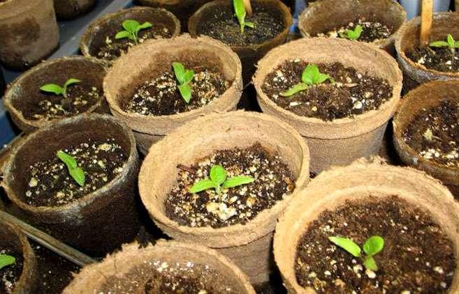 Выращивание рассады баклажанов в домашних условиях