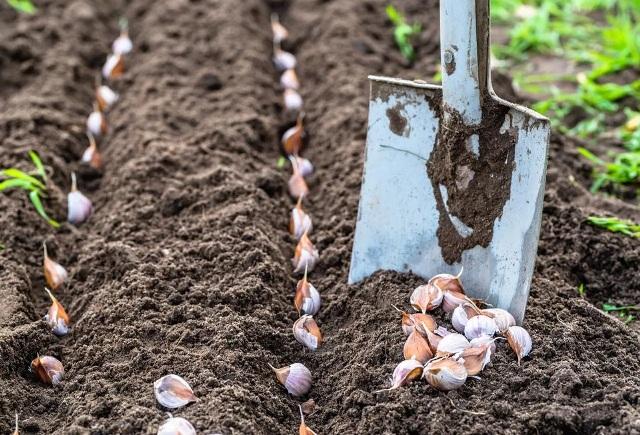 Как правильно посадить чеснок на зиму