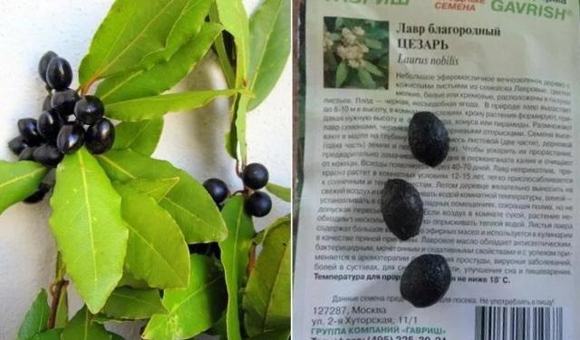 Способ выращивания лавра семенами